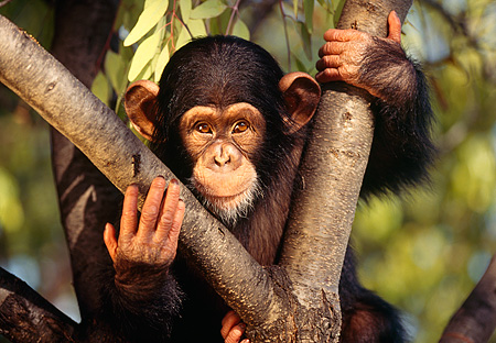 CHI 01 RK0038 05 © Kimball Stock Baby Chimpanzee Sitting In Fork Of Tree