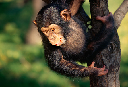 CHI 01 RK0039 05 © Kimball Stock Bernie Baby Chimpanzee In Tree Hanging From Branch Looking Down
