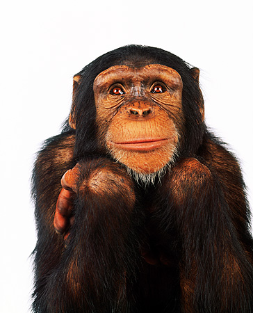 CHI 01 RK0043 10 © Kimball Stock Close Up Of Chimpanzee Facing Camera On White Seamless Background