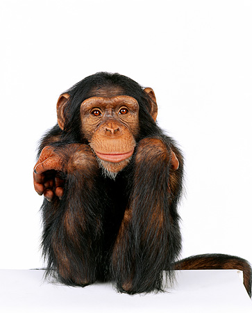 CHI 01 RK0043 13 © Kimball Stock Close Up Of Chimpanzee Facing Camera On White Seamless Background