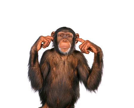 CHI 01 RK0082 07 © Kimball Stock Chimpanzee With Fingers In Ear On White Seamless