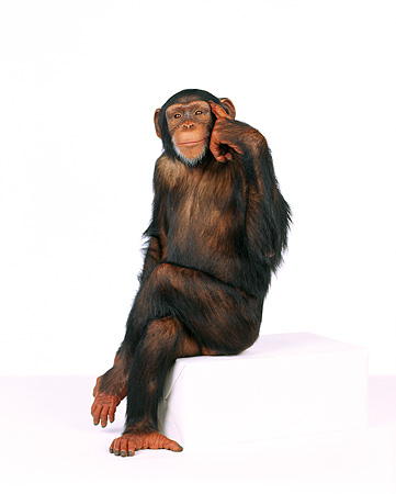 CHI 01 RK0088 03 © Kimball Stock Full Body Shot Of Chimpanzee Sitting On White Seamless Background