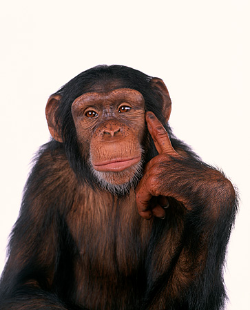 CHI 01 RK0099 10 © Kimball Stock Half Body Shot Of Chimpanzee Pointing At Head White Seamless