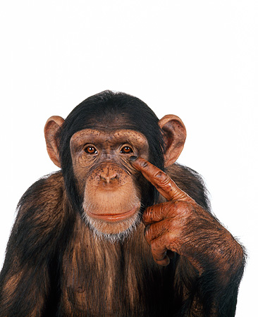 CHI 01 RK0099 11 © Kimball Stock Half Body Shot Of Chimpanzee Pointing At Head White Seamless