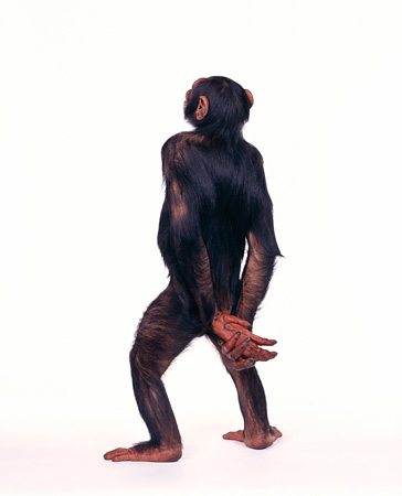 CHI 01 RK0107 01 © Kimball Stock Full Body Rear Shot Of Chimpanzee Hands Behind Back On White Seamless