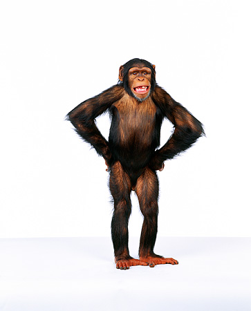CHI 01 RK0109 04 © Kimball Stock Full Body Shot Of Chimpanzee Standing With Hands On Hips White Seamless