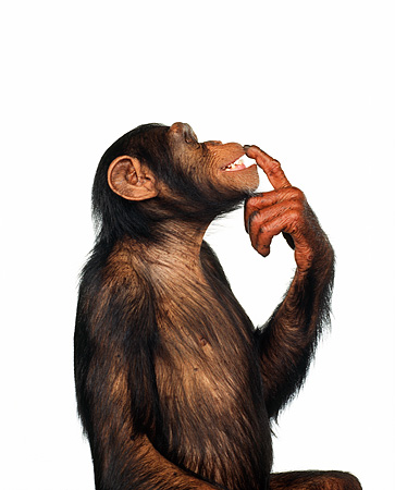 CHI 01 RK0112 05 © Kimball Stock Half Body Profile Shot Of Chimpanzee With Finger On Face White Seamless