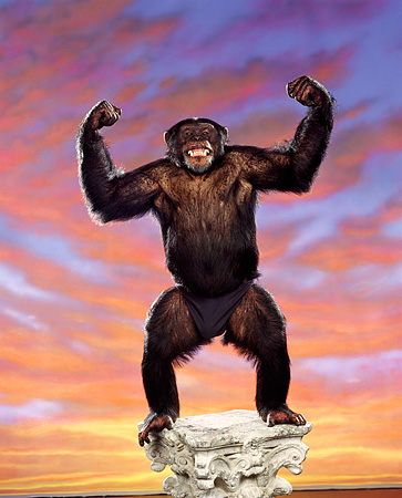 CHI 01 RK0124 01 © Kimball Stock Chimpanzee Reily Standing On Pedestal Flexing Sunset