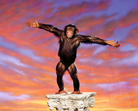 CHI 01 RK0125 05 © Kimball Stock Chimpanzee Eddie Standing On Pedestal Arms Up Sunset