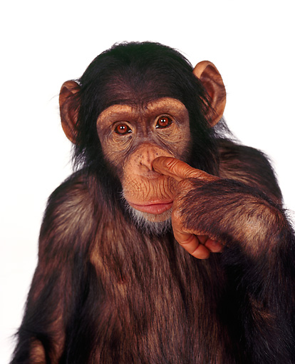 CHI 01 RK0131 02 © Kimball Stock Head Shot Of Chimpanzee Eddie With Finger In Nose White Seamless