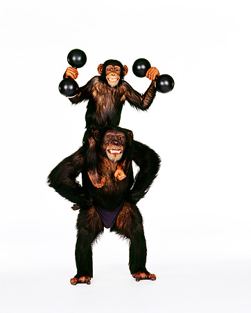 CHI 01 RK0139 01 © Kimball Stock Chimpanzee Eddie Sitting On Reilys Shoulders Holding Weights On White Seamless