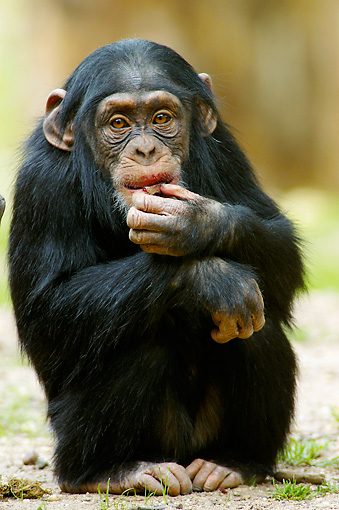 CHI 02 AC0006 01 © Kimball Stock Portrait Of Young Chimpanzee Eating