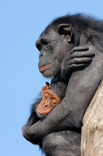 CHI 02 AC0021 01 © Kimball Stock Common Chimpanzee Adult Female Holding Young