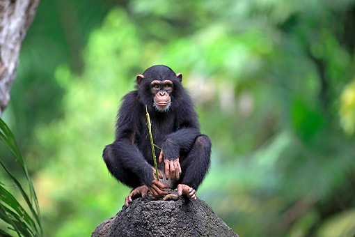 CHI 02 AC0022 01 © Kimball Stock Central Chimpanzee (Or Tschego, A Subspecies Of Common Chimpanzee) Young Foraging On Rock In Africa