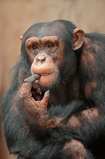 CHI 02 AC0023 01 © Kimball Stock Chimpanzee Portrait In Africa