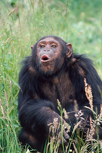 CHI 02 GL0001 01 © Kimball Stock Portrait Of Chimpanzee Sitting In Grass