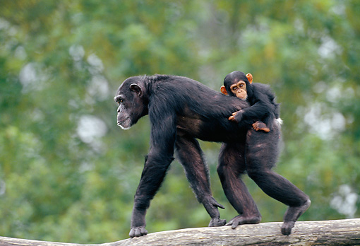 CHI 02 GL0002 01 © Kimball Stock Chimpanzee Mother Carrying Baby On Back