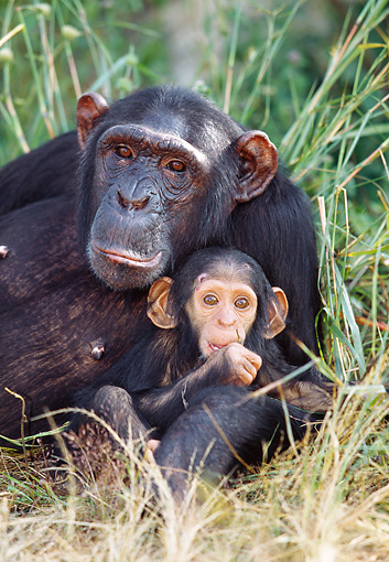 CHI 02 MH0001 01 © Kimball Stock Close-Up Of Mother And Baby Chimpanzees Laying In Savanna Africa