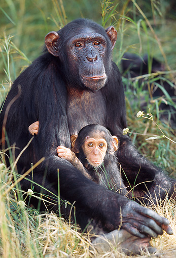 CHI 02 MH0002 01 © Kimball Stock Close-Up Of Mother And Baby Chimpanzees Sitting In Savanna Africa