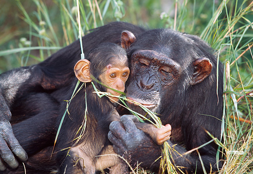 CHI 02 MH0003 01 © Kimball Stock Close-Up Of Mother And Baby Chimpanzees Eating Grass In Savanna Africa
