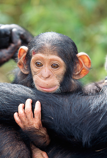 CHI 02 MH0004 01 © Kimball Stock Close-Up Of Baby Chimpanzee Holding Onto Mother In Savanna Africa