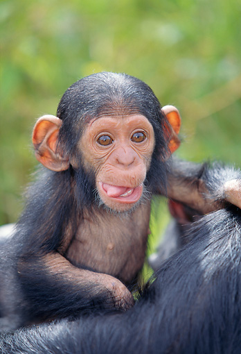 CHI 02 MH0005 01 © Kimball Stock Close-Up Of Baby Chimpanzee Holding Onto Mother In Savanna Africa