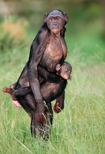 CHI 02 MH0006 01 © Kimball Stock Baby Chimpanzee Holding Onto Mother In Savanna Africa