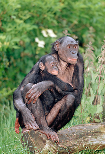 CHI 02 MH0007 01 © Kimball Stock Baby Chimpanzee Holding Onto Mother In Savanna Africa
