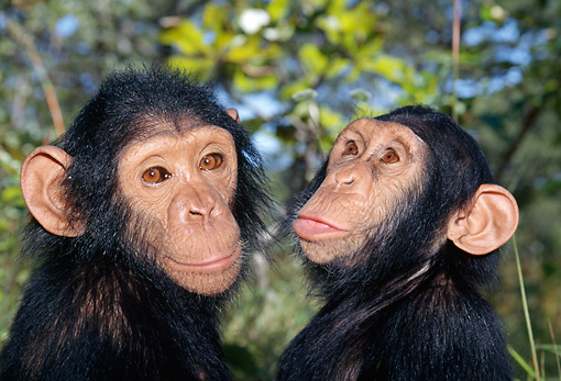CHI 02 MH0009 01 © Kimball Stock Close-Up Of Two Juvenile Chimpanzees In Savanna Africa