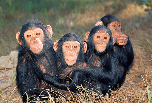 CHI 02 MH0010 01 © Kimball Stock Group Of Juvenile Chimpanzees Sitting In Savanna Africa