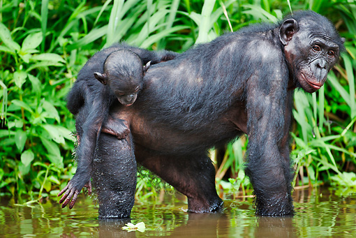 CHI 02 MH0012 01 © Kimball Stock Bonobo Chimpanzee Mother And Baby Cooling Off In Water