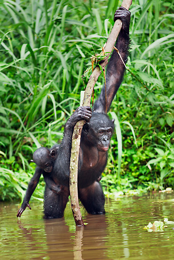 CHI 02 MH0014 01 © Kimball Stock Bonobo Chimpanzee Mother And Baby Cooling Off In Water