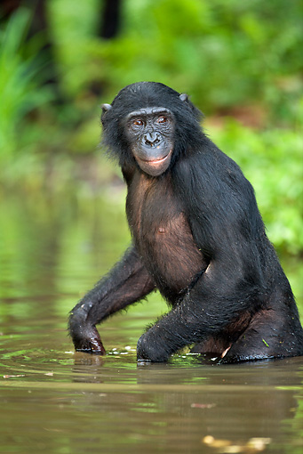 CHI 02 MH0015 01 © Kimball Stock Bonobo Chimpanzee Cooling Off In Water