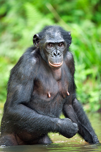 CHI 02 MH0016 01 © Kimball Stock Bonobo Chimpanzee Cooling Off In Water