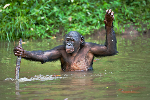 CHI 02 MH0018 01 © Kimball Stock Bonobo Chimpanzee Cooling Off In Water