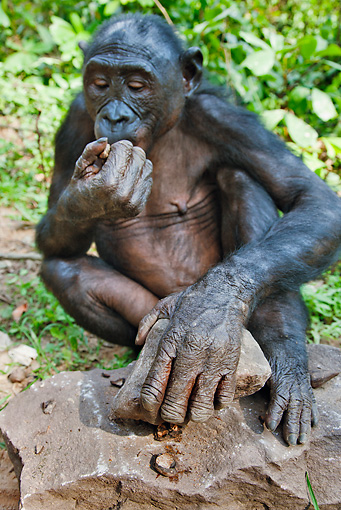 CHI 02 MH0020 01 © Kimball Stock Bonobo Chimpanzee Using Rock To Break Open Nuts