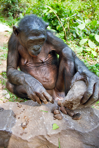 CHI 02 MH0021 01 © Kimball Stock Bonobo Chimpanzee Using Rock To Break Open Nuts