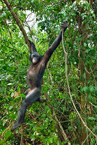 CHI 02 MH0023 01 © Kimball Stock Bonobo Chimpanzee Swinging Through Trees In Rainforest
