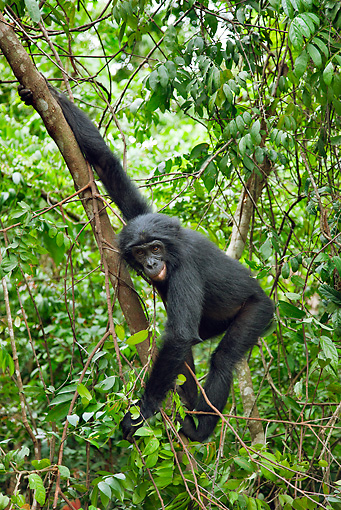CHI 02 MH0024 01 © Kimball Stock Bonobo Chimpanzee Swinging Through Trees In Rainforest