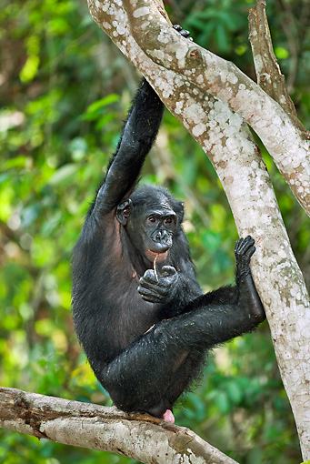 CHI 02 MH0025 01 © Kimball Stock Bonobo Chimpanzee Swinging Through Trees In Rainforest