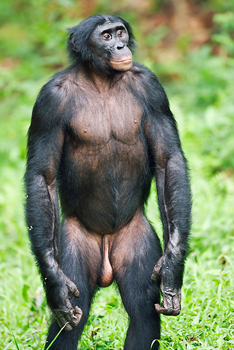 CHI 02 MH0026 01 © Kimball Stock Portrait Of Bonobo Chimpanzee Standing In Rainforest