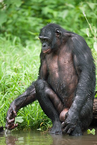 CHI 02 MH0027 01 © Kimball Stock Portrait Of Bonobo Chimpanzee Kneeling In Water To Cool Off In Rainforest