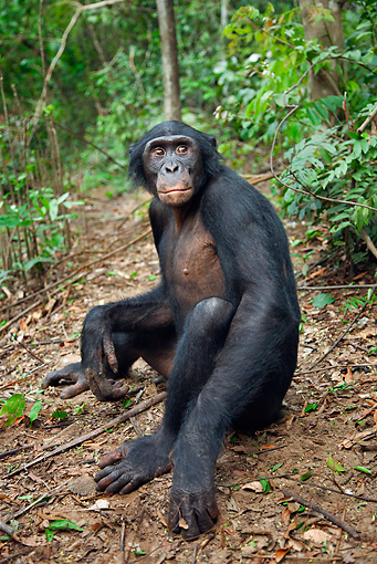 CHI 02 MH0028 01 © Kimball Stock Bonobo Chimpanzee Sitting On Ground In Rainforest