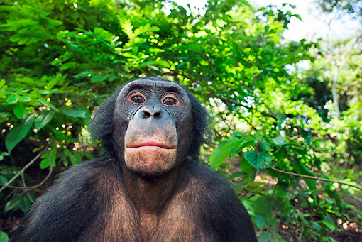 CHI 02 MH0029 01 © Kimball Stock Head Shot Of Bonobo Chimpanzee In Rainforest
