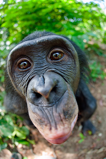 CHI 02 MH0030 01 © Kimball Stock Wide Angle Head Shot Of Bonobo Chimpanzee In Rainforest