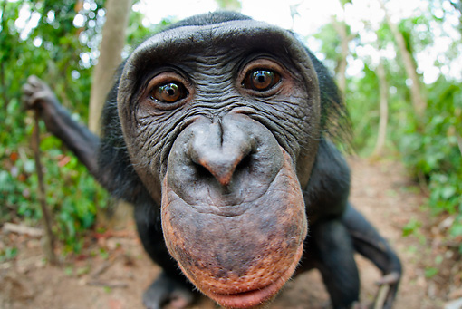 CHI 02 MH0031 01 © Kimball Stock Wide Angle Head Shot Of Bonobo Chimpanzee In Rainforest