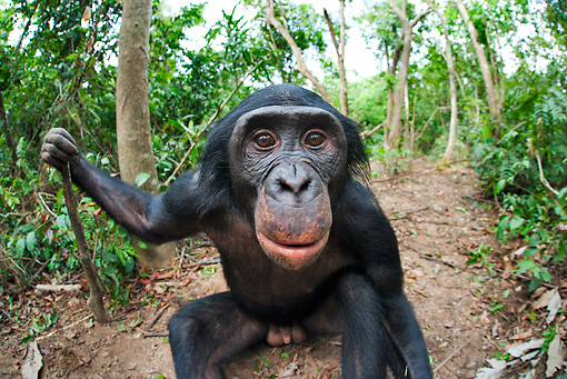 CHI 02 MH0032 01 © Kimball Stock Wide Angle Shot Of Bonobo Chimpanzee Sitting In Rainforest