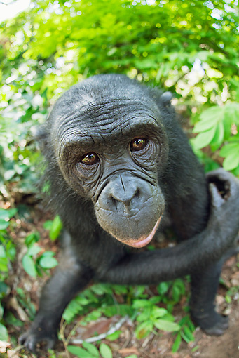 CHI 02 MH0033 01 © Kimball Stock Wide Angle Shot Of Bonobo Chimpanzee Sitting In Rainforest