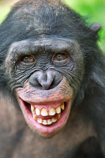 CHI 02 MH0034 01 © Kimball Stock Head Shot Of Bonobo Chimpanzee Making Fear Grin In Rainforest