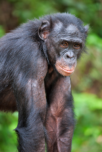 CHI 02 MH0035 01 © Kimball Stock Portrait Of Bonobo Chimpanzee Standing In Rainforest